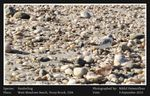 Title: a Sanderling on a beach