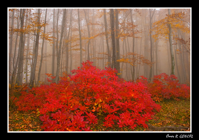 Forest with the Fog&Rhododendron luteum