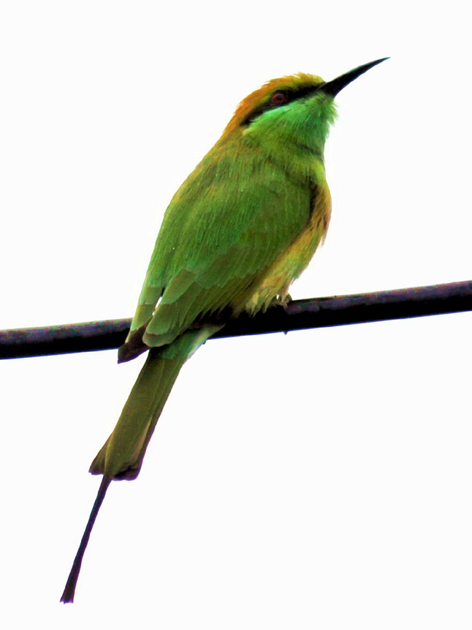 Green Indian Bee Eater