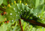 Title: Cecropia Caterpillar