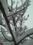 Title: Snow on persimmon tree