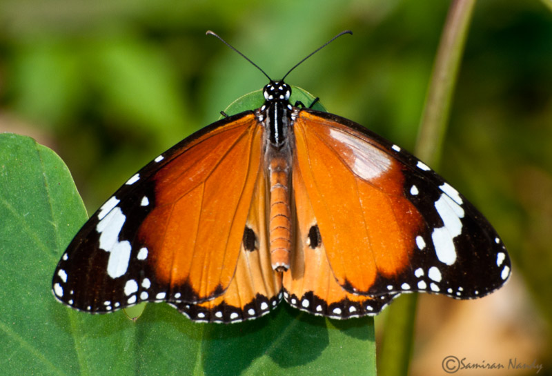 White patch Plain Tiger Butterfly