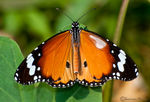 Title: White patch Plain Tiger Butterfly
