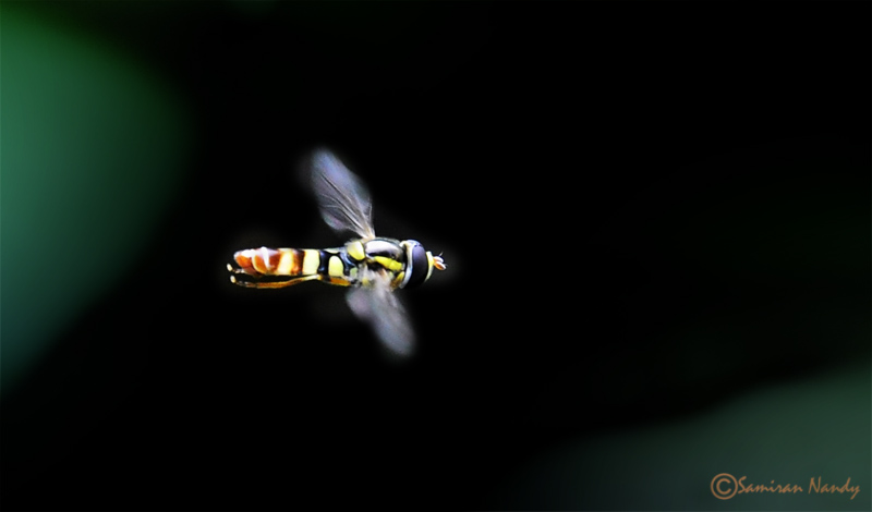 Flying Hover fly
