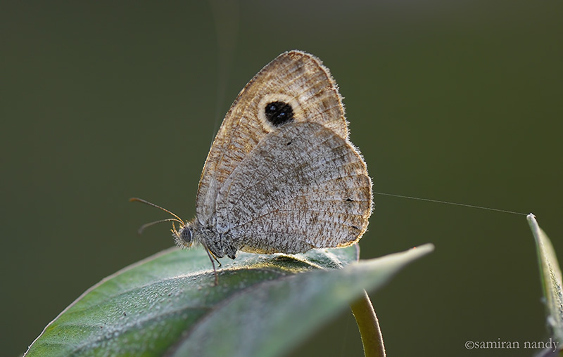 Common Four ring (Dry Season Form)