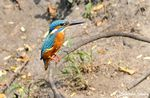 Title: Small Blue Kingfisher