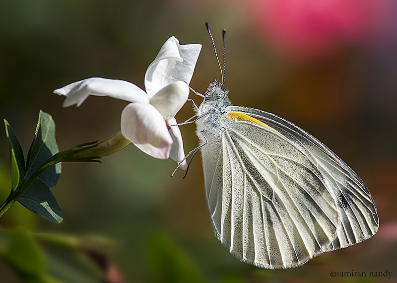 Indian Cabbage White (Male)