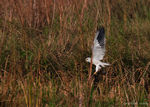 Title: Black-winged Kite with its Prey