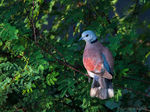 Title: Red Collared Dove