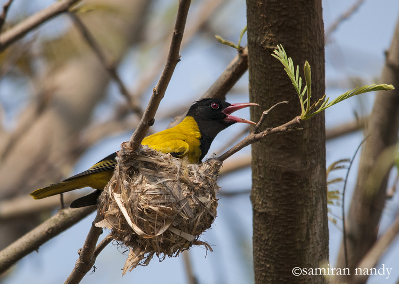 Black-hooded Oriole in its Nest