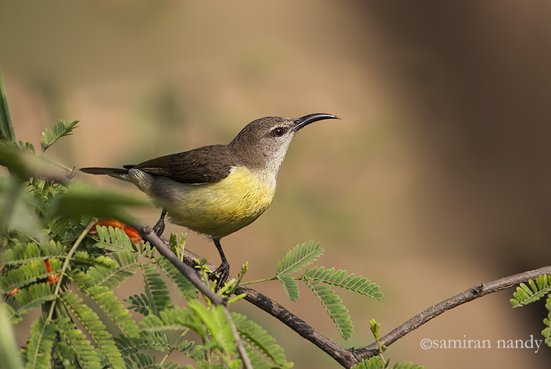 Female Purple-rumped Sunbird