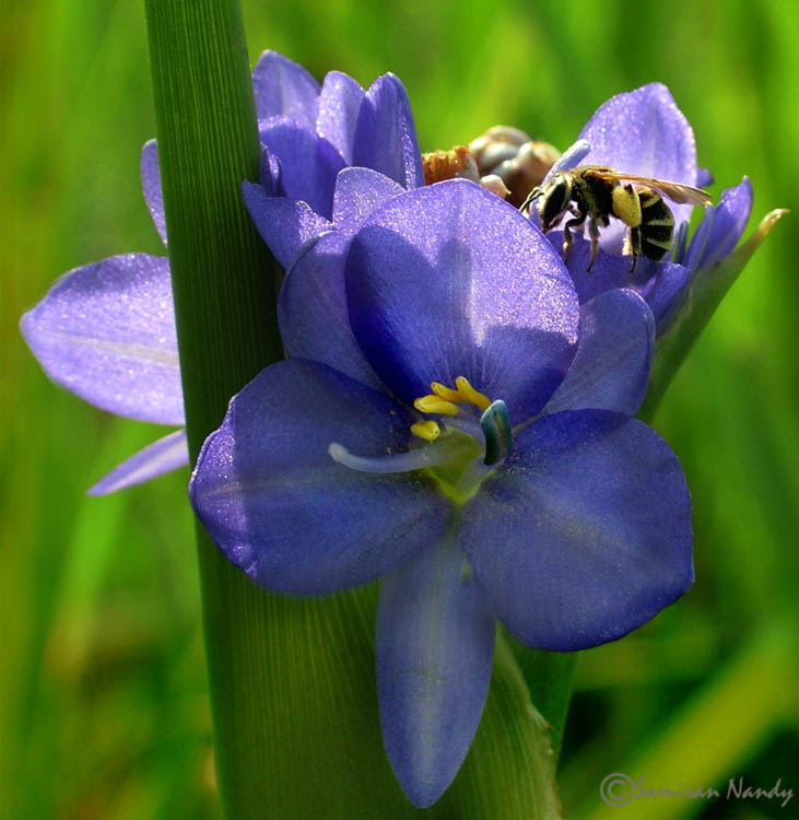 Bee and Blue Beauty