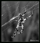 Title: Hanging Spider