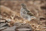 Title: Berthelots Pipit