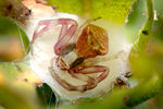Title: Crab spider in the nest