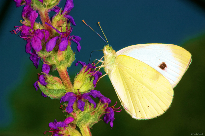 Large White - Pieris Brassicae