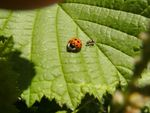 Title: an ant hunting a ladybug