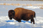 Title: Early spring Bison
