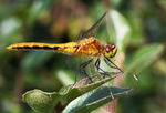 Title: Female Cherry-faced Meadowhawk