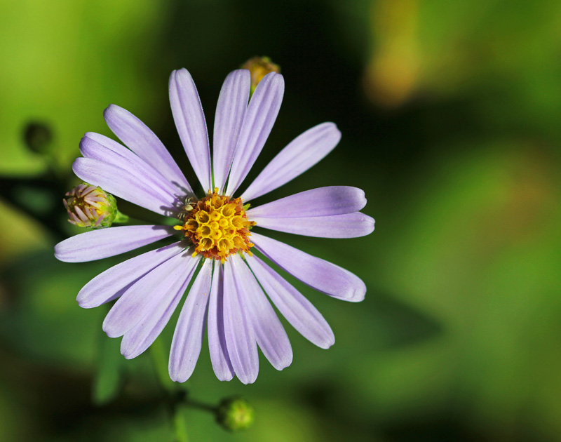 Showy but lonely Aster