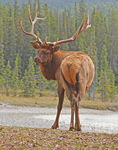 Title: North American Elk