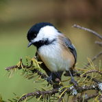 Title: Black capped chickadee-2