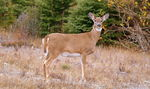 Title: Automn White tail Deer