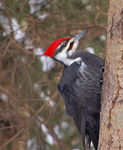 Title: My first Pileated Woodpecker