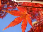 Title: Red Leaves