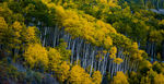 Title: Aspens in Fall