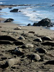 Title: Northern Elephant Seal