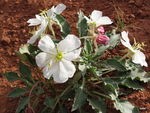 Title: Dwarf Evening Primrose