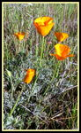 Title: California Poppy