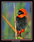 Title: Southern Red Bishop