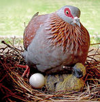Title: Speckled Pigeon
