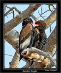Title: Bateleur Eagles