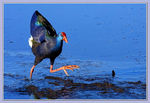 Title: African Purple Swamphen