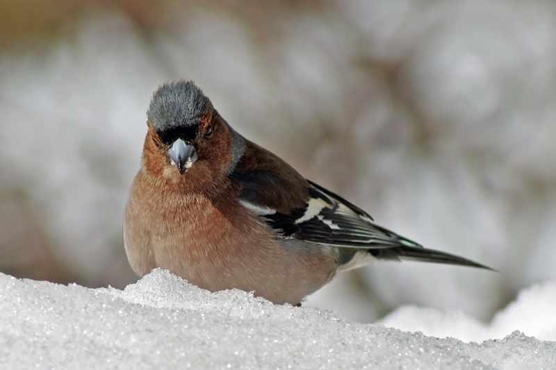 Chaffinch in Tatra mountains