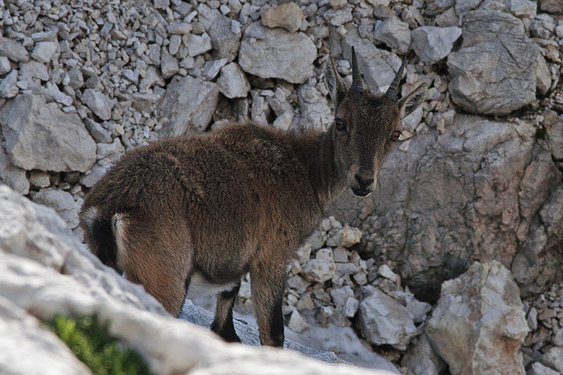 Baby chamois in Julian Alps