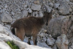 Title: Baby chamois in Julian Alps
