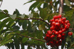 Title: Mountain Ash in Izerskie Mountains