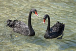 Title: Black Swans in Greece