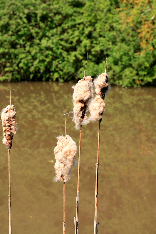 Coventry Canal - Typha Latifolia