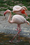Title: Greater Flamingo