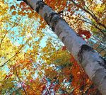 Title: Canopy of Colour