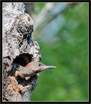 Title: Northern Flicker Chick Peeping Out