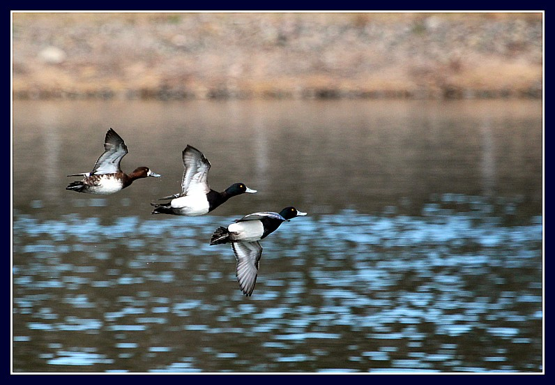 Greater Scaup M(s) + F