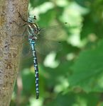Title: Lance-Tipped Darner