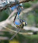 Title: Aeshna constricta: Mating Wheel