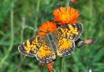 Title: Northern Crescent (Phyciodes cocyta)